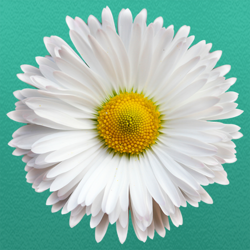 White Daisy Summerfields Friendly Village Logo